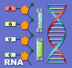 Dna Makes Rna Makes Protein Essay - cheapbestbuyessayemail